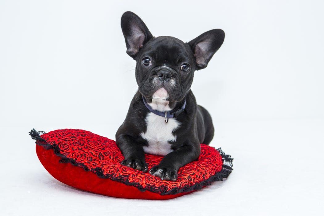 PopsicleSociety-buldog puppy