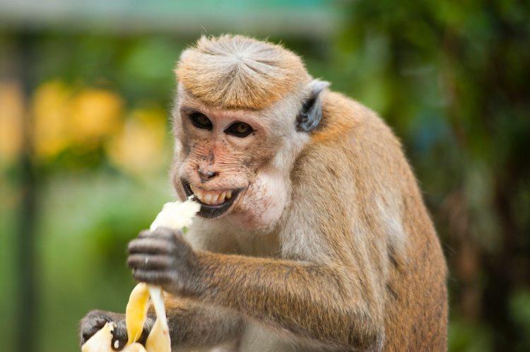 animal-ape-banana-321552