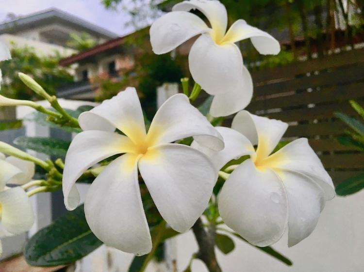 Popsicle Society-frangipane flower