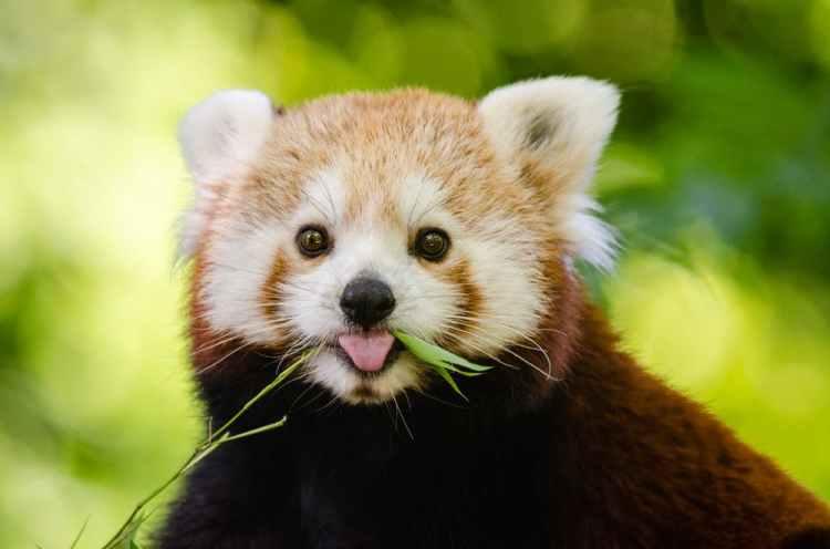 Red panda-Popsicle Society