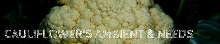 Cauliflower ambient & needs
