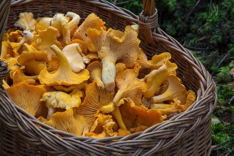 Chanterelle Mushrooms_Popsicle Society