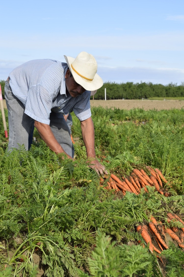 Carrot grower_Popsicle Society