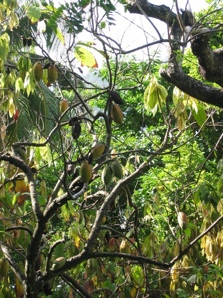 Cocoa tree_Popsicle Society