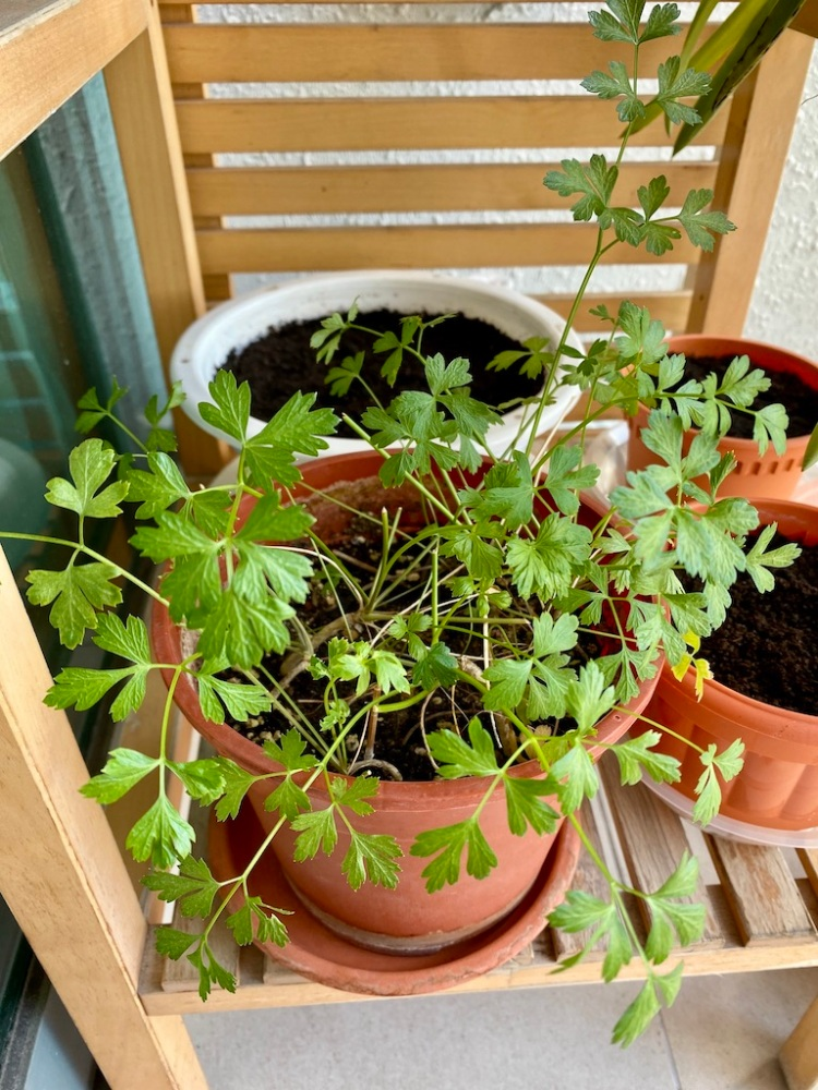 Parsley plant_Popsicle Society