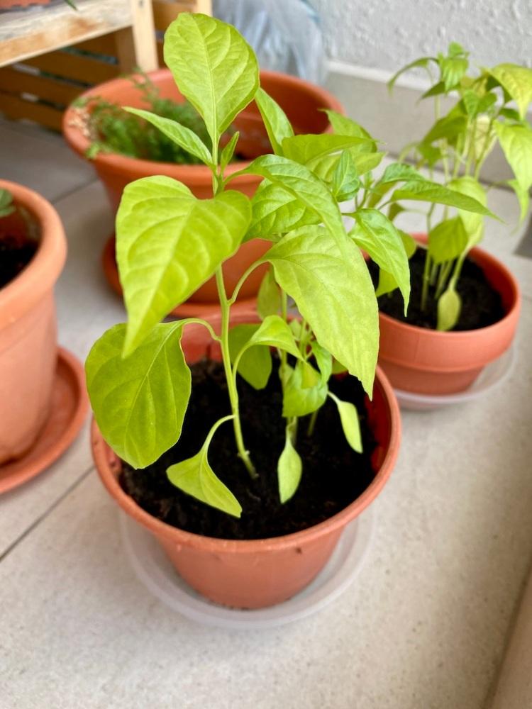 Chilli plants_Popsicle Society